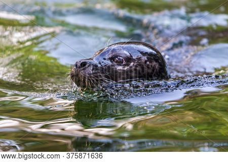 Portrait Of Otariidae Head - Sea Lion In The Water At The Zoo
