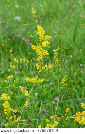 Close-up Of The Small Yellow Blossoms Of Galium Verum Or Yellow Bedstraw In A Meadow