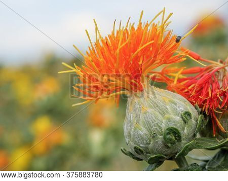 Dyeing Safflower Buds Growing On The Field.
