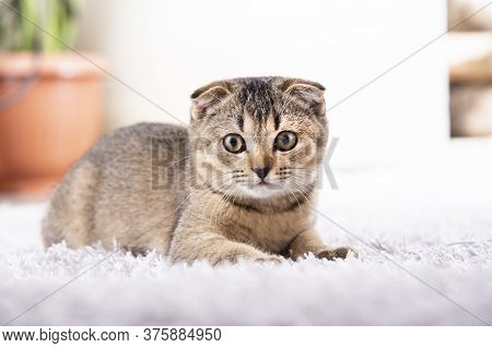 Scottish Fold Kitten Is Sitting On The Carpet In The Apartment. Portrait Of A Baby Animal. Wall In T