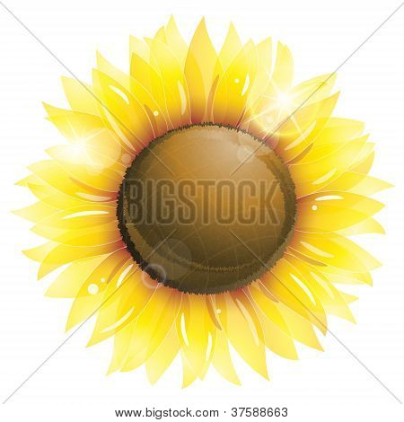 Beautiful Sunflower Isolated On White