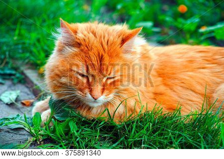 Ginger Cat Lying Down In Grass Outdoors And Sleeping. Close Up.
