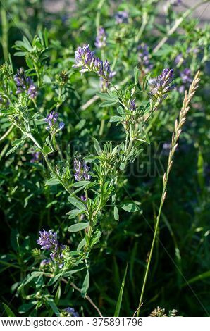 An Alfalfa Plant, Medicago Sativa, With Blue Flowers Growing On A Pasture