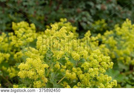 Close-up Of Fluffy Flowers Of Alchemilla In A Garden In Springtime