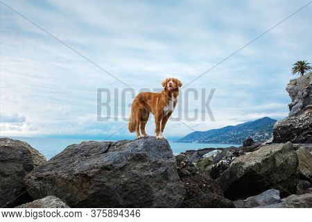 Dog On The Sea. Nova Scotia Duck Tolling Retriever On A Stone And Looks At The Water. Italy, Promena