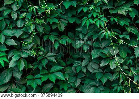 Ivy Texture. Ivy Hedge Background. Ivy Berry Backdrop. Ivyberry Backround Image. Ivy Wall. Green Wal
