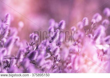 Beautiful Nature, Flower In Meadow, Purple Lightweight (light) Fluffy Flower