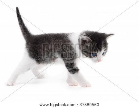 Black White Kitten