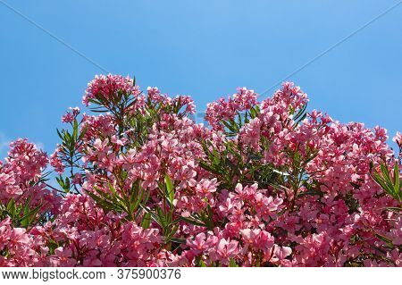 Bright Pink Flowers Of Oleander Tree ( Nerium Oleander ) Against Blue Sky. Free Space For Text