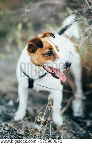 A Small Dog Of The Jack Russell Terrier Breed On A Walk