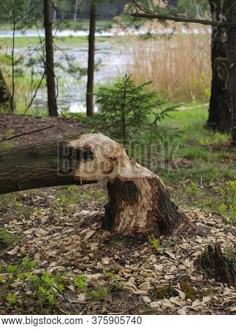 Damage Caused In The Forest By The Water By Beavers.  Broken Gnawed Trees. Felling Trees. Forest Bac