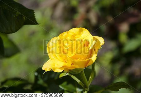Yellow Varietal Rose. Beautiful Flower Head With Tender And Soft Petals. Smell Rose Aroma. Female Ro