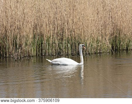 A Mute Swan Seen From From Headley Hide At The Wildfowl And Wetlands Trust London Wetland Centre, Ba