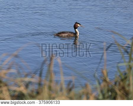 A Great Crested Grebe Still Wet From Diving For Fish At The Wildfowl And Wetlands Trust London Wetla
