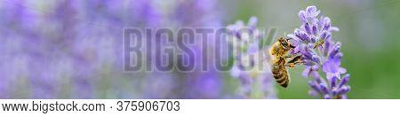 Honey Bee Pollinates Lavender Flowers. Plant Decay With Insects., Sunny Lavender. Lavender Flowers I