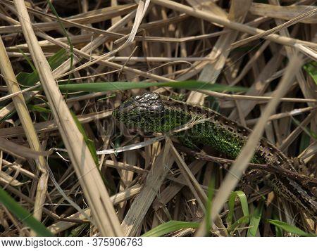 Green Lacerta Viridis, Lacerta Agilis Is A Species Of Lizard Of The Genus Green Lizards. Lizard In O