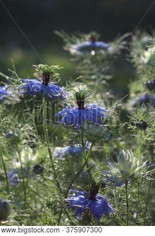 The Beautiful Blue Flowers Of Nigella Damascena Also Known As Love In A Mist. Backlit On A Sunny Sum