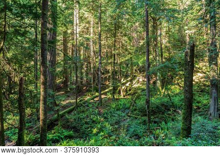 Tall Trees In The Summer Green Old Forest And Fern On The Ground.