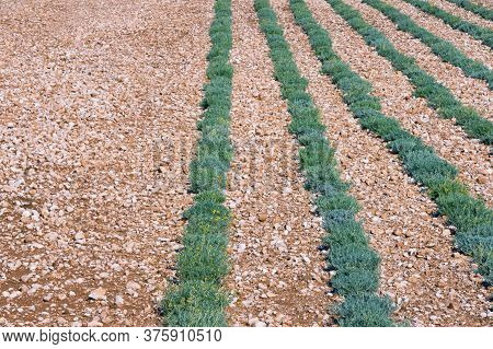 Background With Green Rows Of Herb. Field Of Immortelle Plants ( Helichrysum Italicum ). Bosnia And