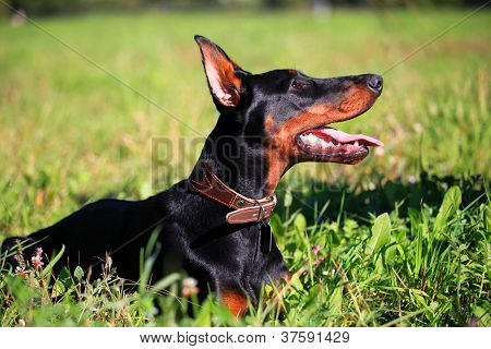 Beauty black doberman