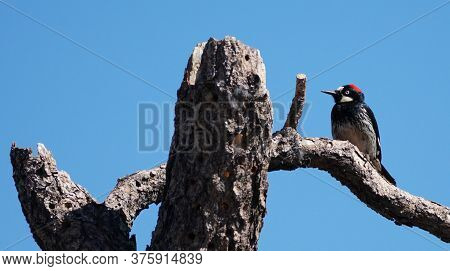 An Acorn Woodpecker Sits On A Branch Of A Large Tree That Is Covered With The Holes Left From That T