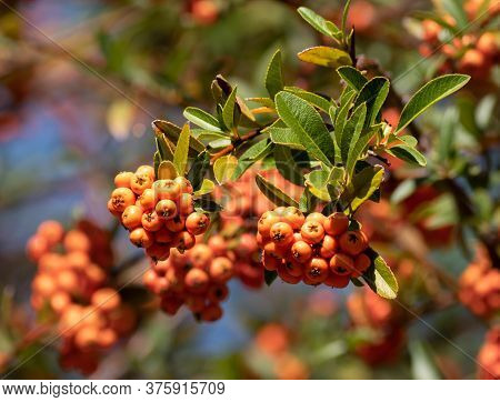 The Rich Green Leaves Contrast Beautifully With The Bright Orange Berries Of The Lalandei Scarlet Fi