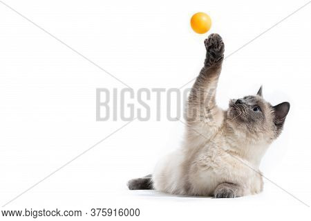 The Fluffy Thai Cat Lies And Shadows Its Front Paw Up Behind An Orange Small Ball.