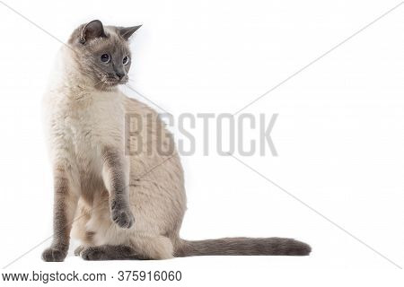 The Cat Sits On Its Hind Legs And Lifts Its Front Paws.