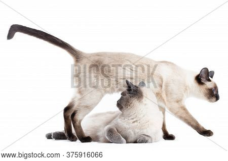 Two Funny Cats Of Thai Breed On A White Background.