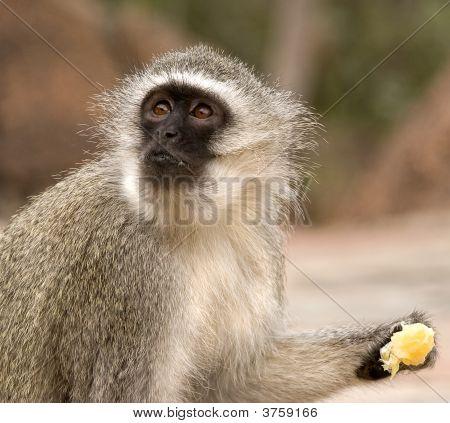 Vervet Monkey Eating An Orange
