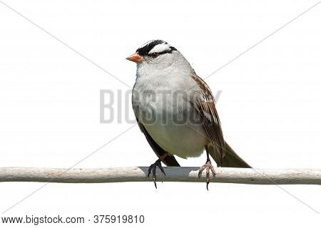 With Very Bold White And Black Stripes On Its Head, A White-crowned Sparrow Stands Out Against A Whi