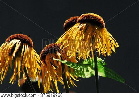 Extreme Close Up Of Unique Yellow Cone Flowers In Sunlight Against A Contrasting Dark Background.  S