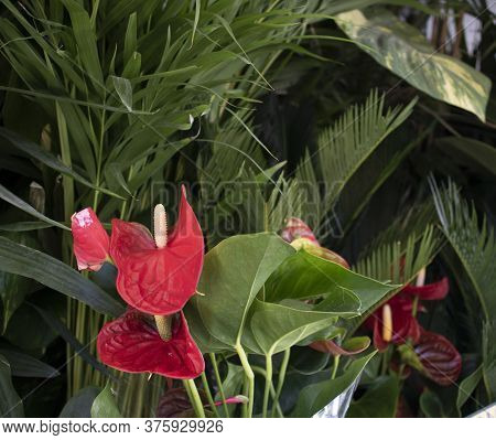 Detail On Blossom Red Flamingo Lily , Anthurium Andreanum.