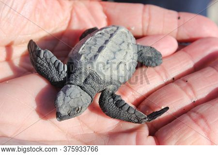 A Small Baby Sea Turtle Rescued On The Baja Peninsula Mexico Is Held For A Moment Before Being Relea