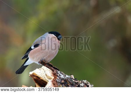 The Bullfinch, Common Bullfinch Or Eurasian Bullfinch (pyrrhula Pyrrhula) Sitting On The Branch With