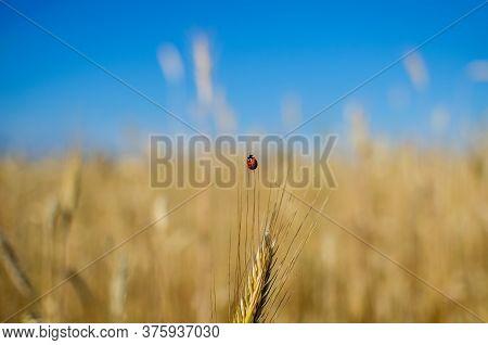 Ladybug On Wheat. Ladybug Eats Aphids On Wheat