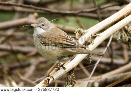 Whitethroat, Small Brown Bird, Blade Of Grass In Its Beak