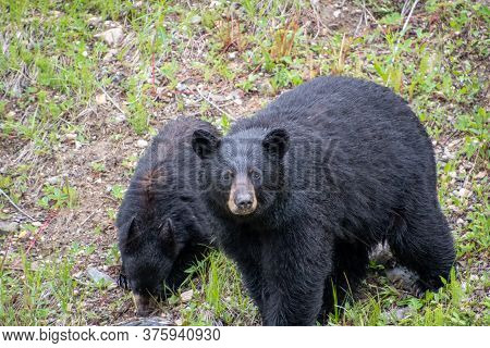 A Closeup Of Blackbears By The Roadside.  Banff National Park  Ab Canada