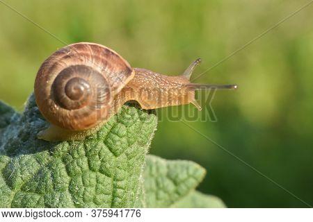 Curious Snail In The Garden On Green Leaf. Snail On Leaf In Garden. Burgundy Snail Helix Pomatia , B