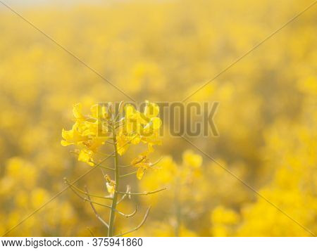 Blossoming  Oilseed Rape, Brassica Napus, Plant With A Green Background. Abstract
