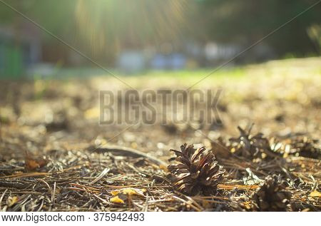Pine Cones And Needles In The Forest.