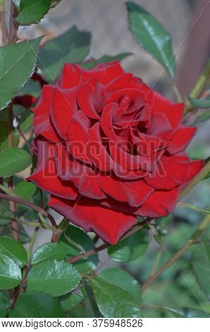 Red Roses On A Bush In A Garden. Red Rose Flower. Red Rose Barkarole