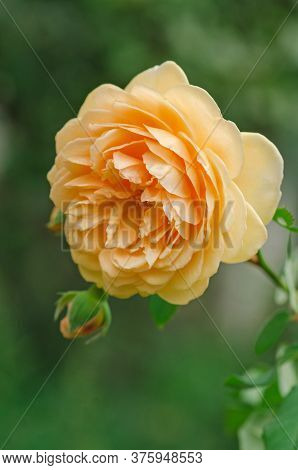 Blossom Orange Roses