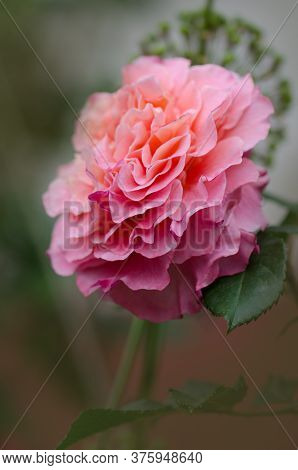 Blooming Peach Rose. Rose With Wavy Edges Of Petals