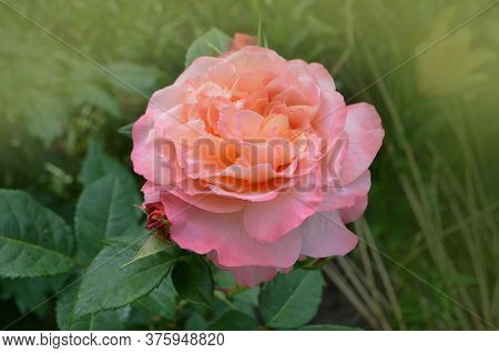 Rose With Two Colors In A Single Flower. Two Tone Blooming Rose Mango