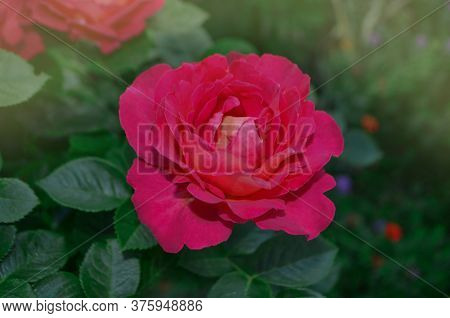 Blooming Red Rose Shanti. Red Flowering Rosa.