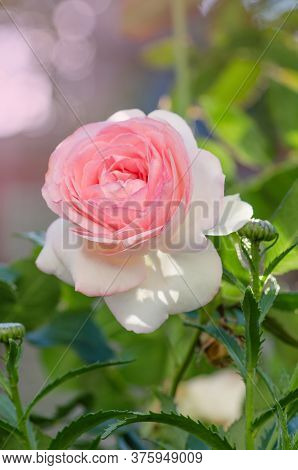 White And Pink Roses Eden Rose In The Summer Garden