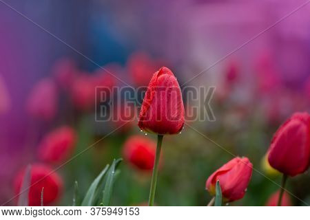 Red Color Tulips. Mix Of Spring Tulips Flowers