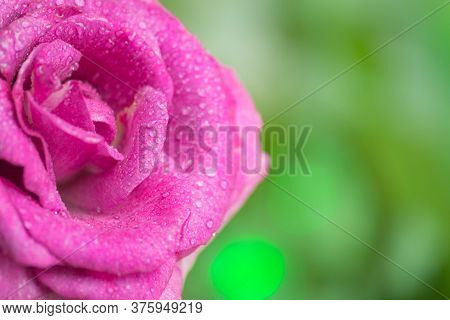Purple Lavender Roses In The Garden