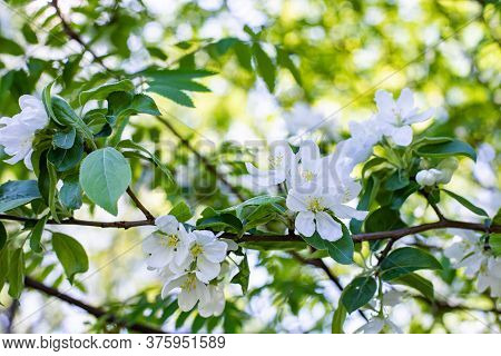 Blossom Apple Tree Close-up, White Fruit Tree Flower With Green Leaf. Spring Nature Orchard In Bloom
